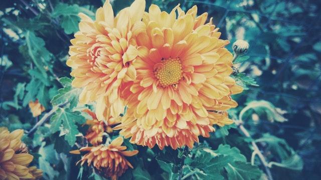 Fall Garden Mum